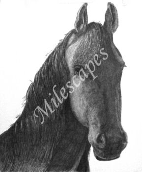 Friesian Mare Portrait