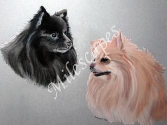 Two Pomeranians Portrait
